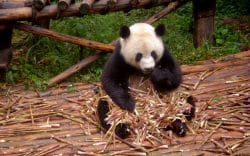 Ein Panda-Bär, der Bambus frisst - damit sorgt er für das Düngemittel für den Edel-Tee