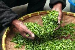Detailaufnahme von zwei Händen und einer Schale frisch gepflückter Teebläter